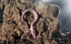 proteus nada como uma enguia e fica sem comer até dez anos