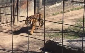 Mulher pula cerca e entra em jaula de tigre para recuperar boné