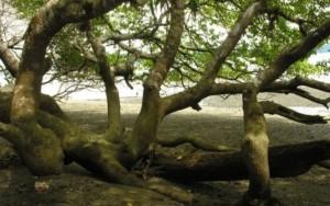 A 'árvore da morte', a mais perigosa do mundo segundo o livro dos recordes