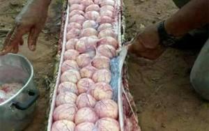 Dezenas de ovos são encontradas em cobra acusada de assassinar e comer bezerro