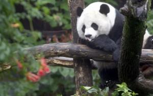 Disfarce? Estilo? Estudo descobre por que os pandas são pretos e brancos